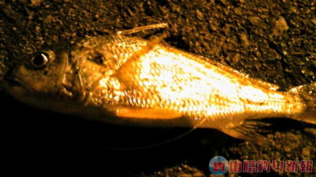 夜のアナゴ釣り☆