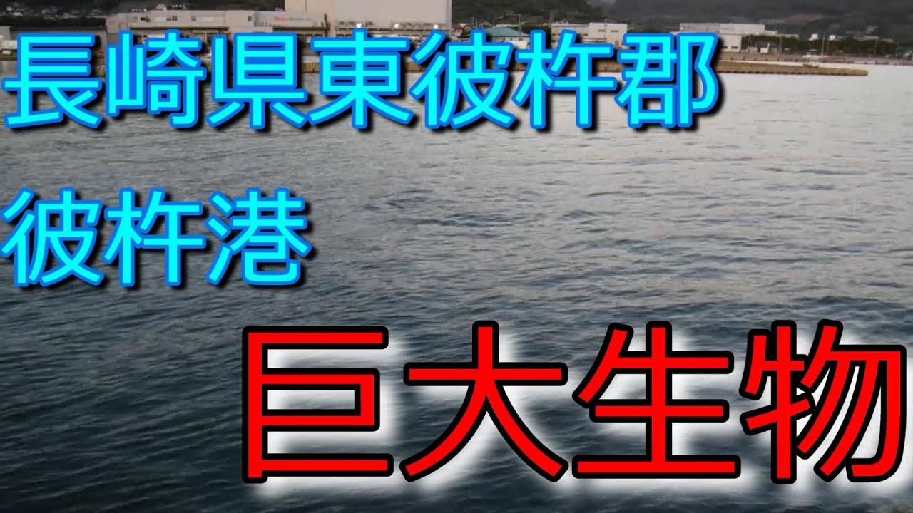長崎県東彼杵郡「彼杵港」大型生物現る
