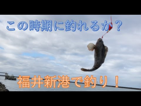 2020年11月29日福井新港。ブッコミ釣りと穴釣り