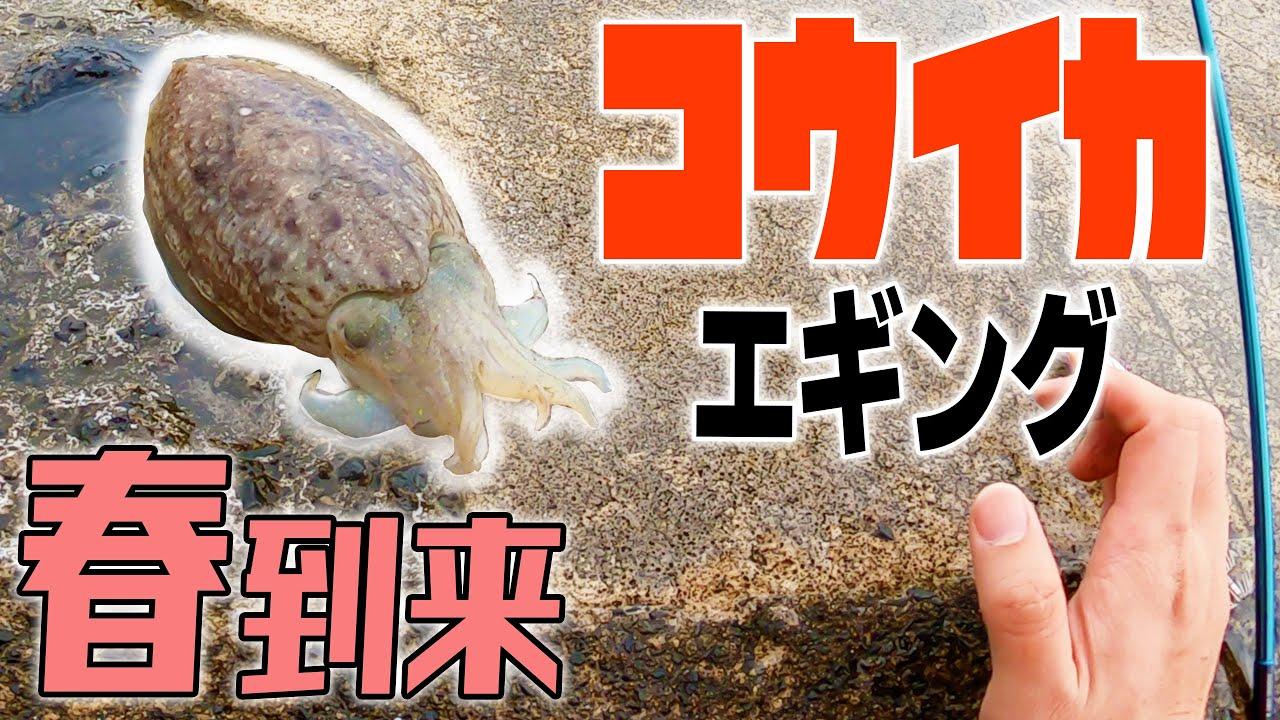 敦賀でコウイカを釣る!もうひとつの春イカエギング