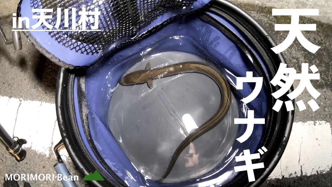 天川村の清流で特大天然ウナギが釣れる!