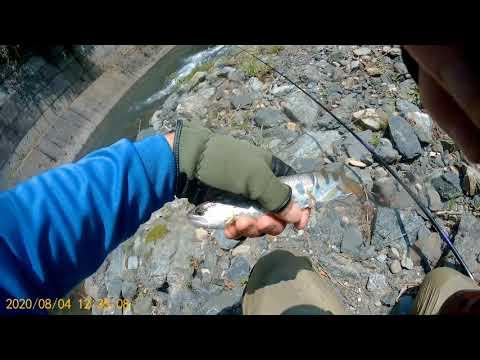 安曇川で渓流釣り